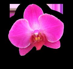 Bloem orchidee 2