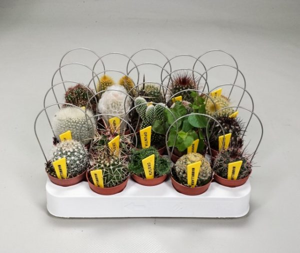 Mini bow met cacti
