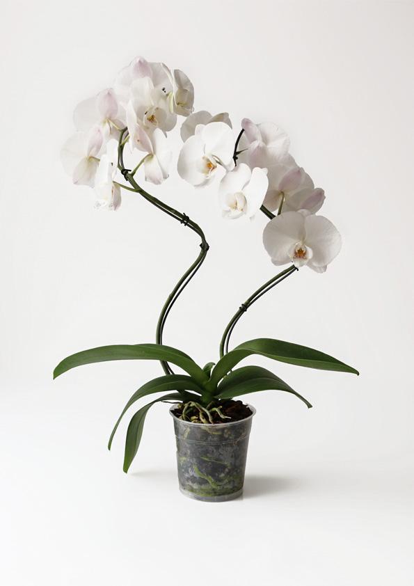Groeivorm dubbele Spiraal met orchidee